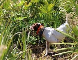 Dog With Quail