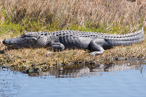 Alligators Hunting In Florida
